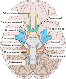 12-par-cherepno-mozgovyh-nervov