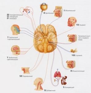 Изображение функций черепно-мозговых нервов